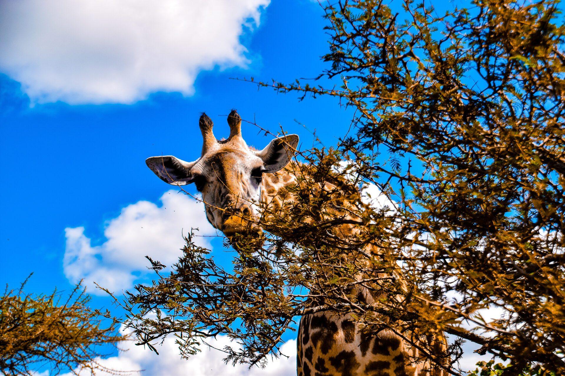 Giraf spiser af træ lige over person Serengeti safari Tanzania